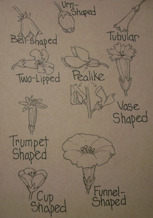 Pictorial Guides for Plant Identification. Botanical illustrations with labels for plant parts to help identify wild foods and medicinal herbs.  From Dryad in the Elm at www.dryadintheelm.com.