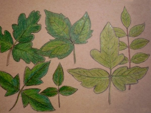 How to identify poison ivy, poison oak, and poison sumac, and tips for disposal. Also some commonly misidentified toxic or poisonous plants that every wild food forager or herbalist should know. Read about it at www.dryadintheelm.com