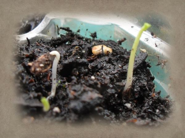 Stupid mice KILLED my milkweed.