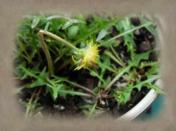 Stupid jerk mice ate my dandelions.